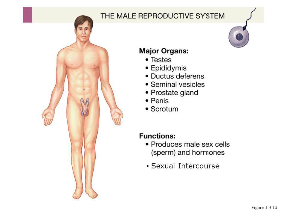 Sexual Intercourse Figure 1.3.10
