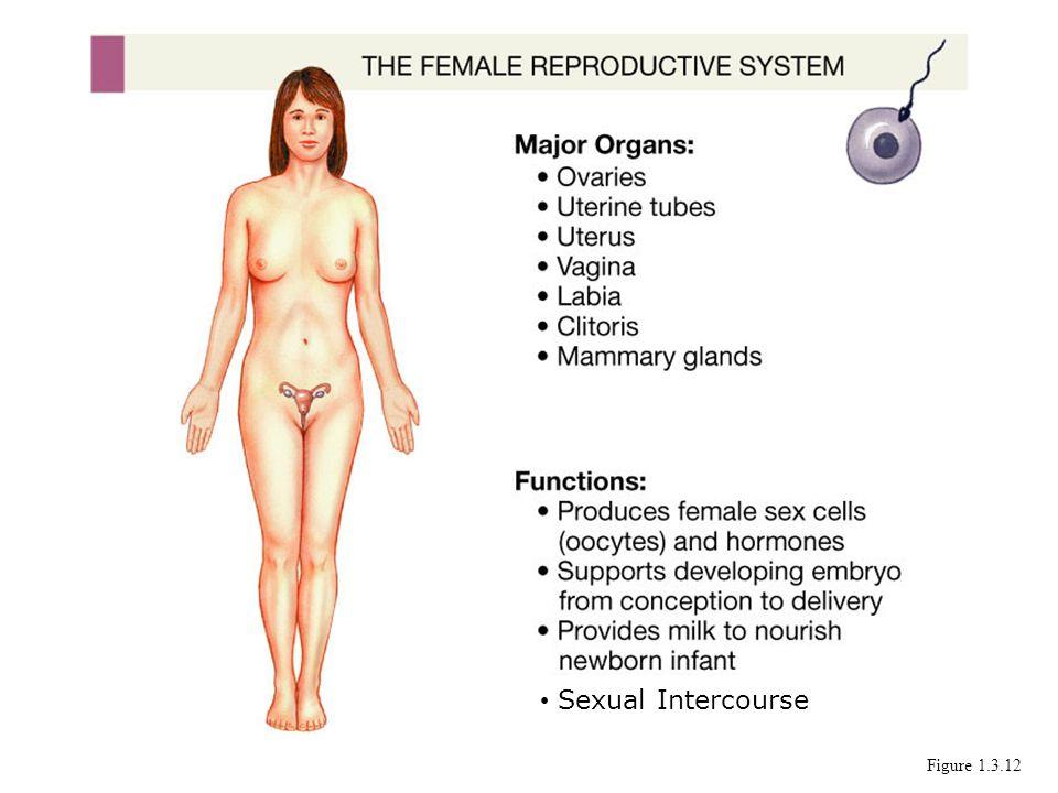 Sexual Intercourse Figure 1.3.12