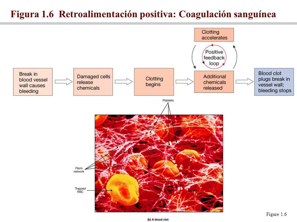 Figura 1.6 Retroalimentación positiva: Coagulación sanguínea