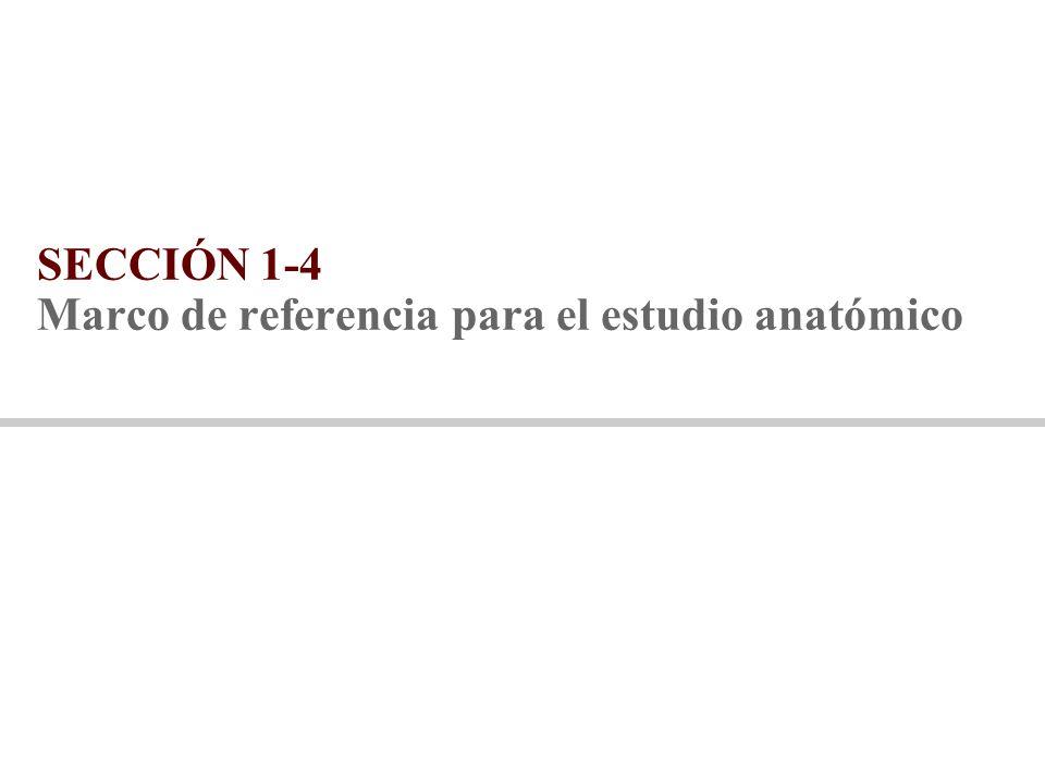 SECCIÓN 1-4 Marco de referencia para el estudio anatómico