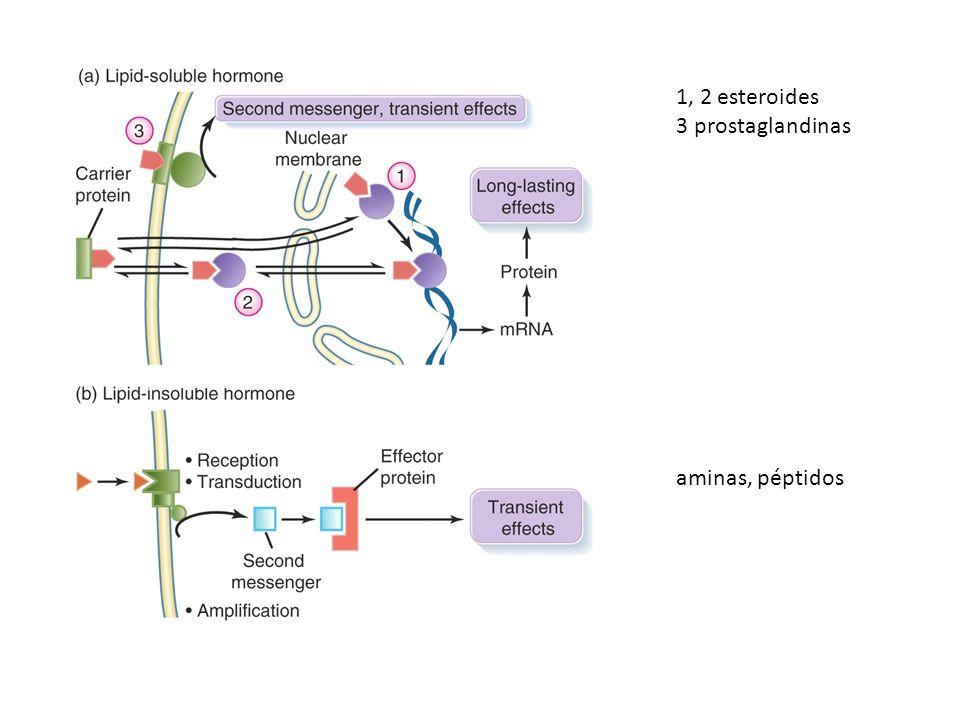 1, 2 esteroides 3 prostaglandinas aminas, péptidos