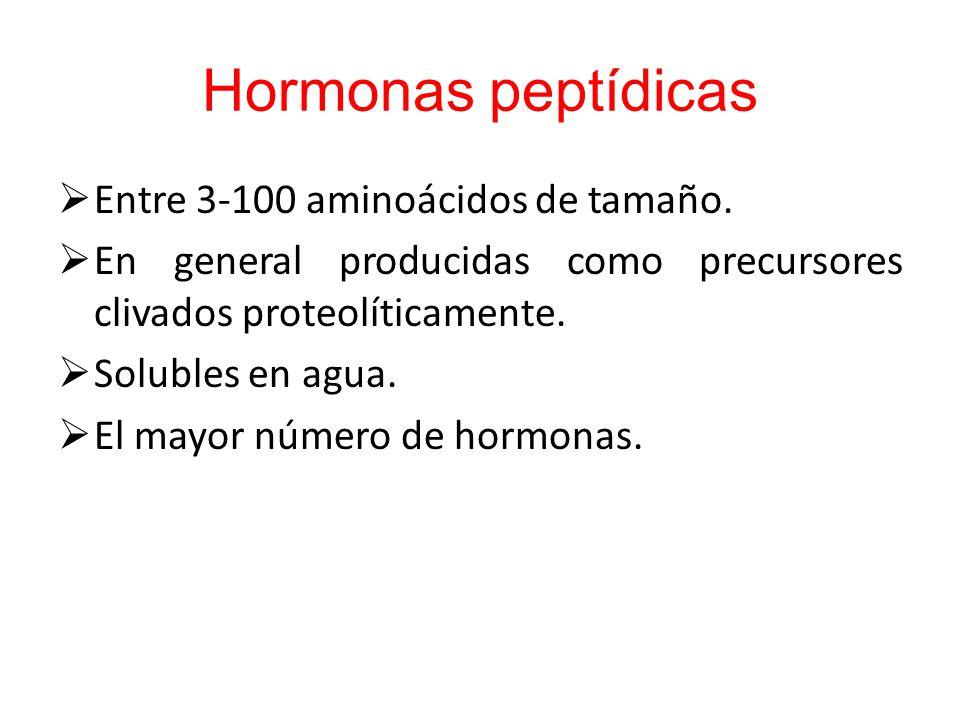 Hormonas peptídicas Entre 3-100 aminoácidos de tamaño.