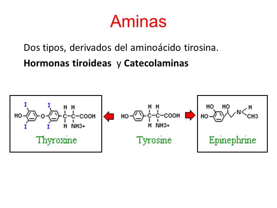 Aminas Dos tipos, derivados del aminoácido tirosina.