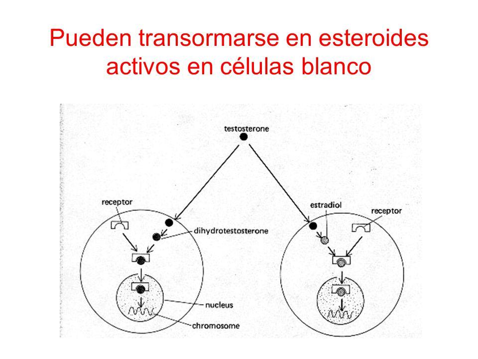 Pueden transormarse en esteroides activos en células blanco