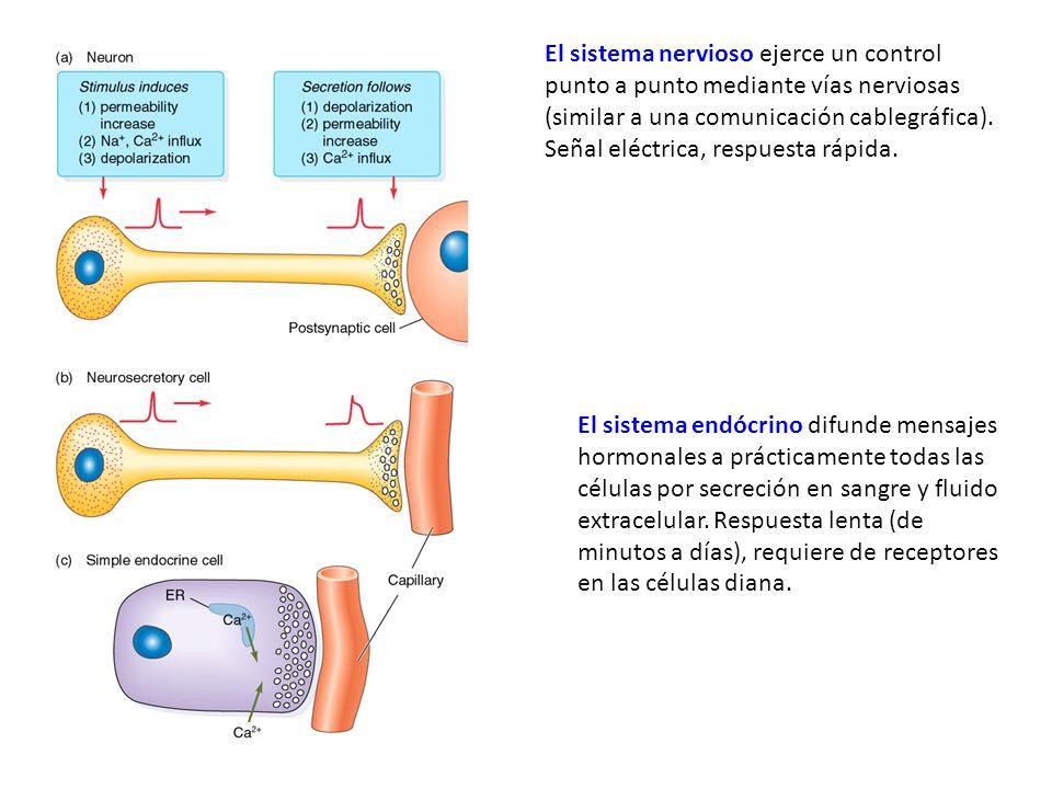 El sistema nervioso ejerce un control punto a punto mediante vías nerviosas (similar a una comunicación cablegráfica). Señal eléctrica, respuesta rápida.