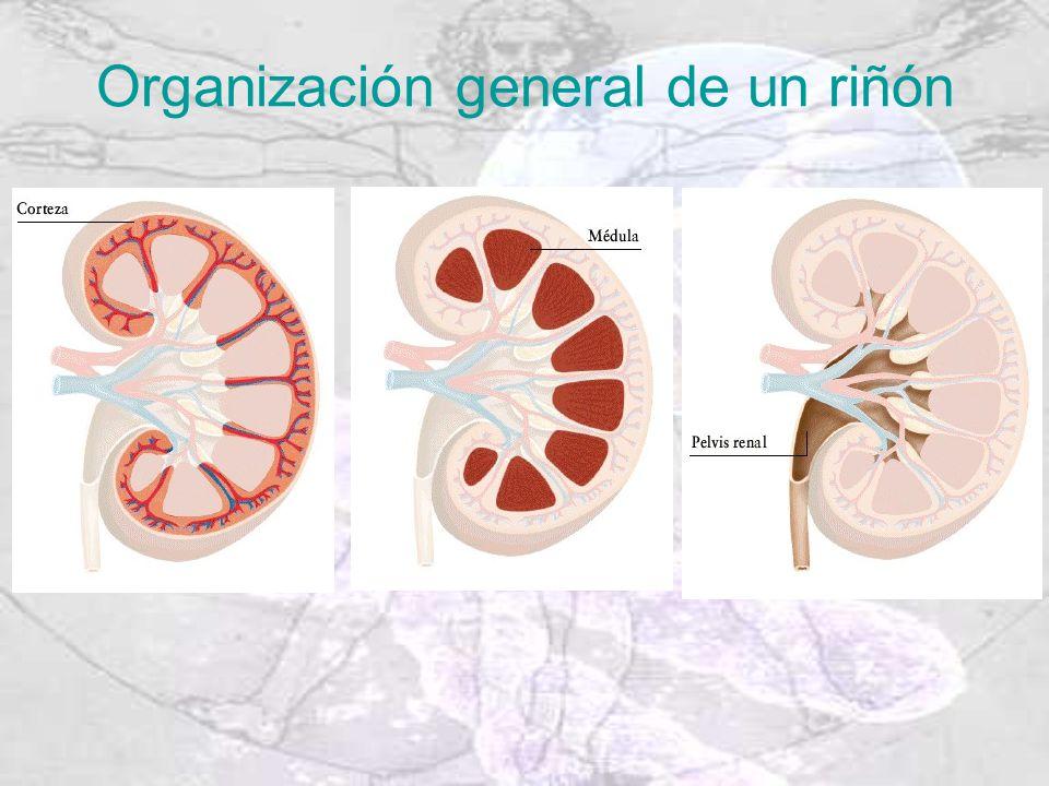 Organización general de un riñón