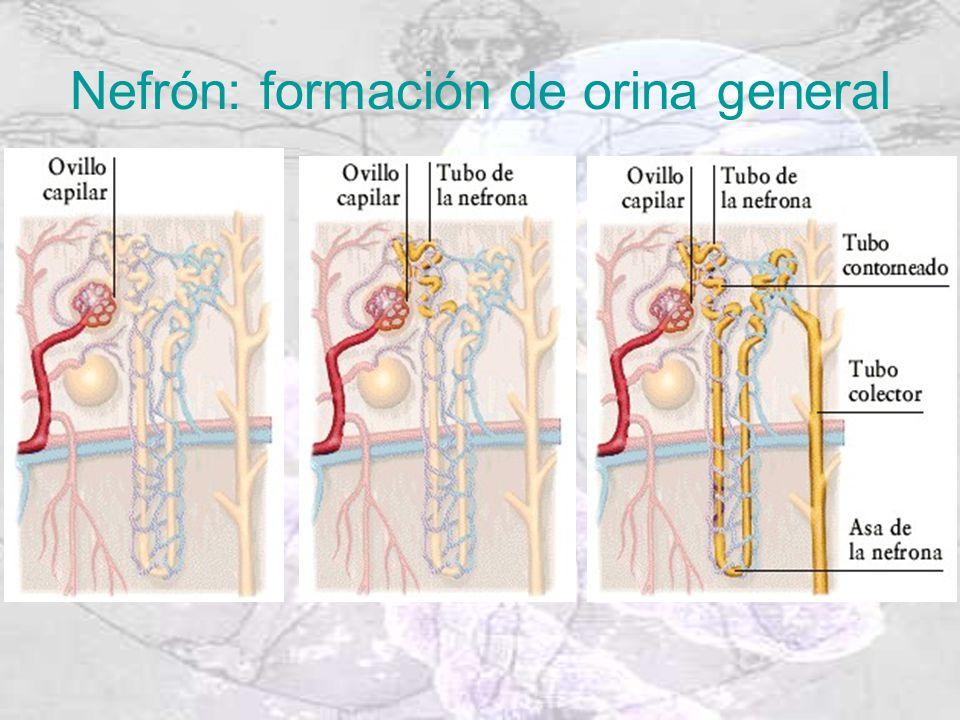 Nefrón: formación de orina general