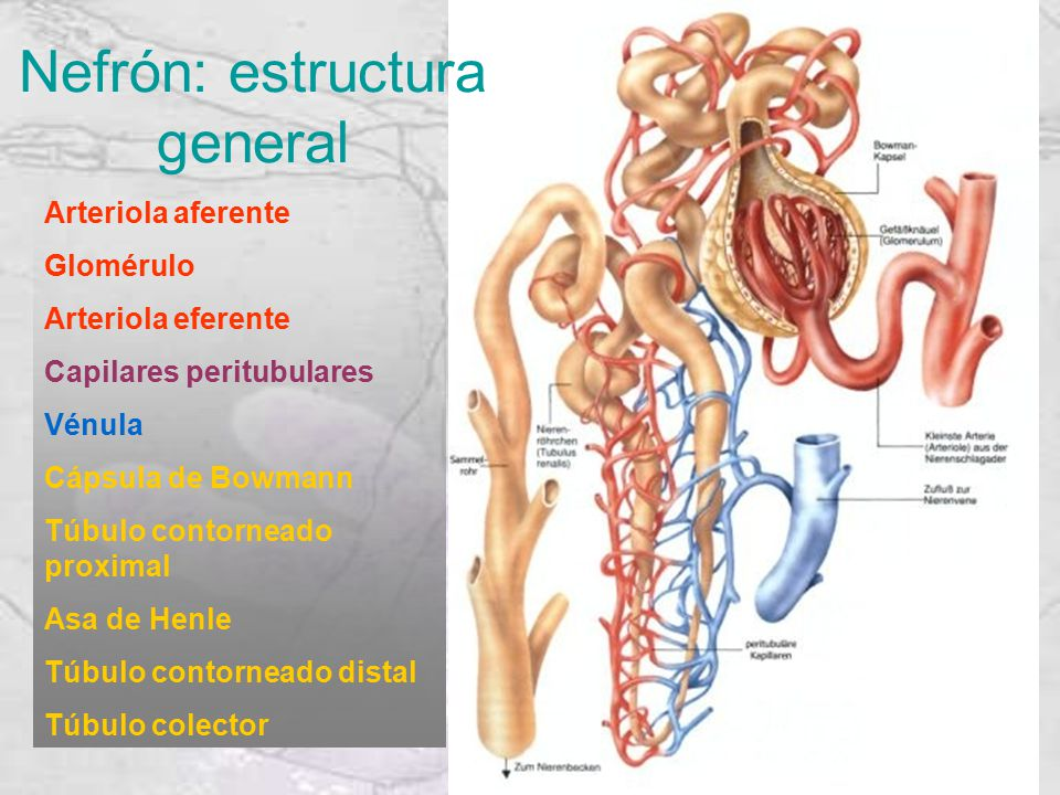 Nefrón: estructura general