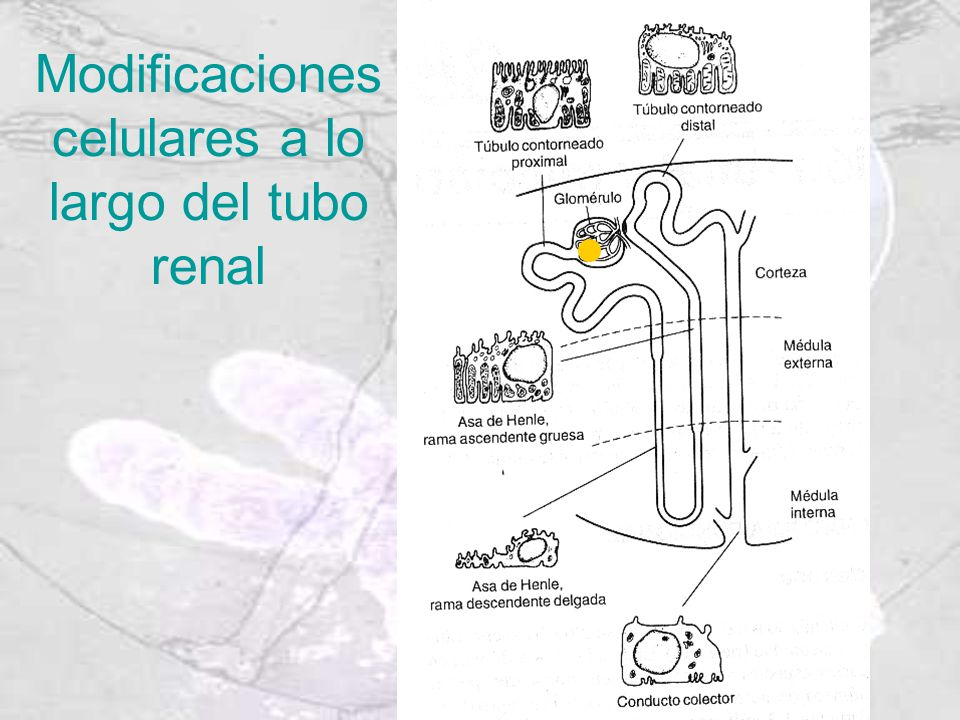 Modificaciones celulares a lo largo del tubo renal