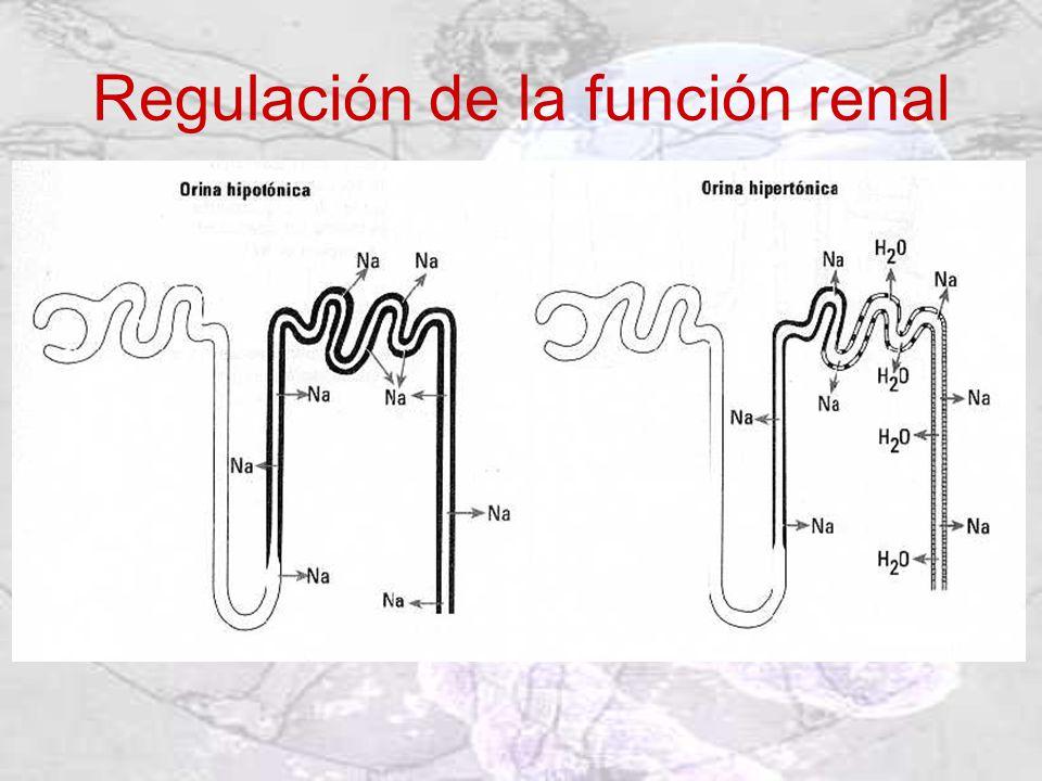 Regulación de la función renal