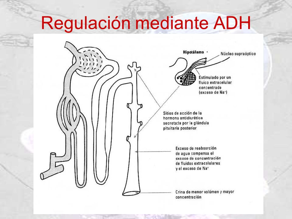 Regulación mediante ADH