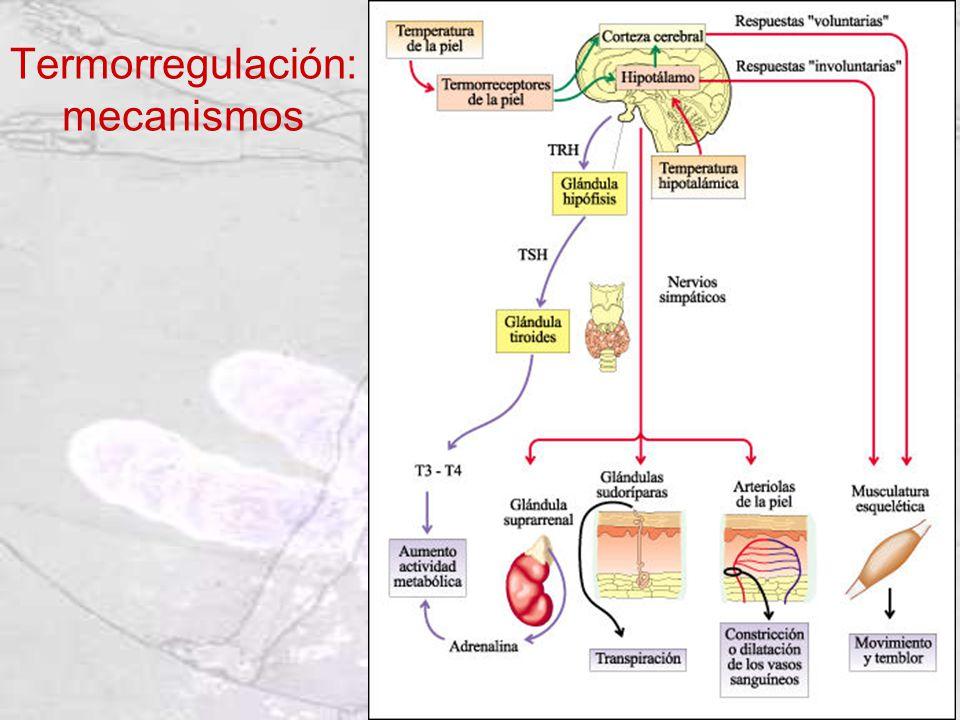 Termorregulación: mecanismos