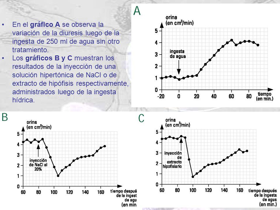 En el gráfico A se observa la variación de la diuresis luego de la ingesta de 250 ml de agua sin otro tratamiento.