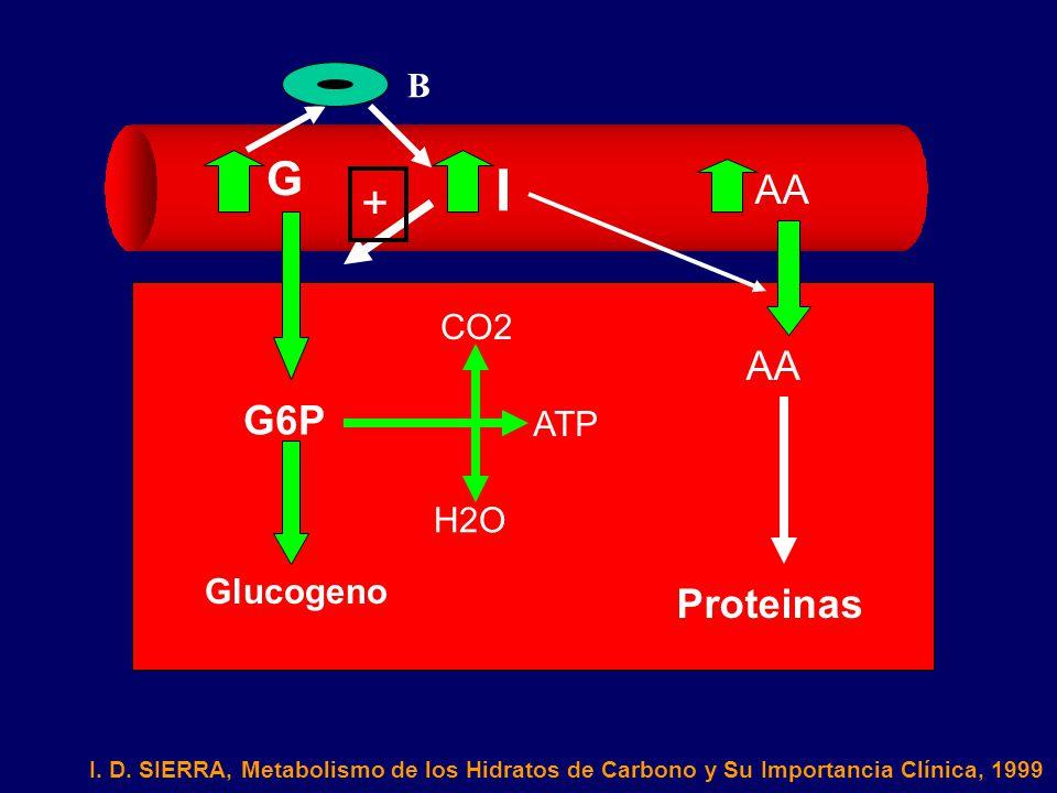 I G + AA AA G6P Proteinas B CO2 ATP H2O Glucogeno