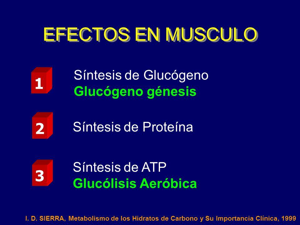 EFECTOS EN MUSCULO 1 2 3 Síntesis de Glucógeno Glucógeno génesis