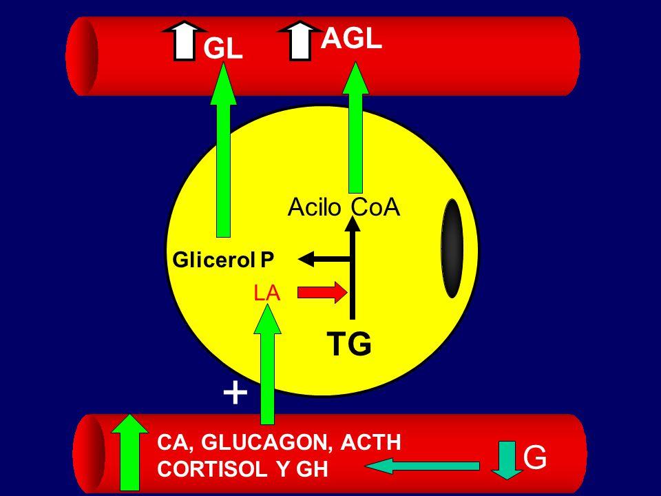 AGL GL Acilo CoA Glicerol P LA + TG CA, GLUCAGON, ACTH CORTISOL Y GH G