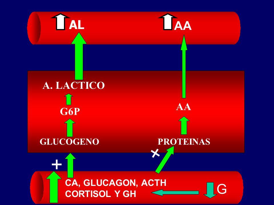 + + G AL AA A. LACTICO AA G6P GLUCOGENO PROTEINAS CA, GLUCAGON, ACTH