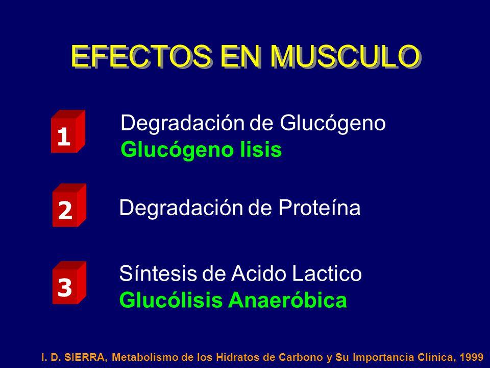 EFECTOS EN MUSCULO 1 2 3 Degradación de Glucógeno Glucógeno lisis