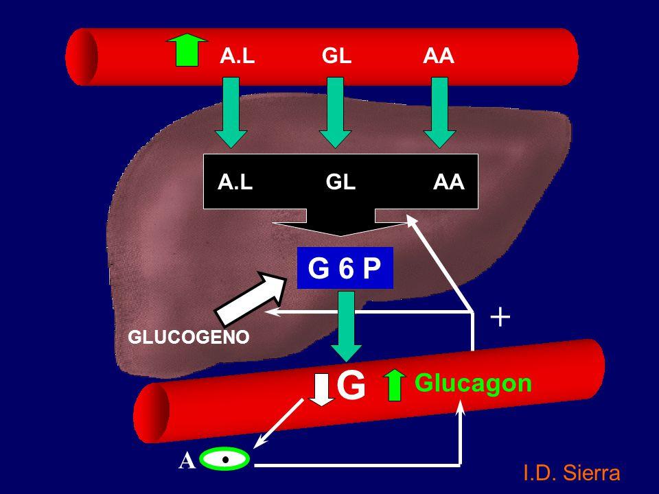 A.L GL AA A.L GL AA. + G 6 P. GLUCOGENO. G. Glucagon.