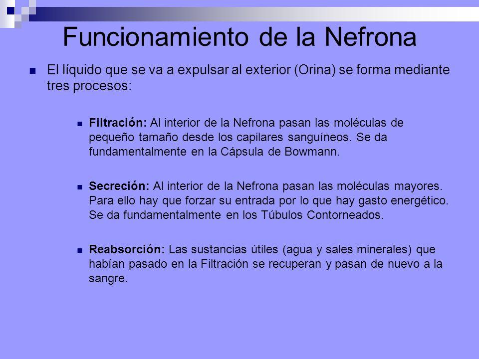 Funcionamiento de la Nefrona