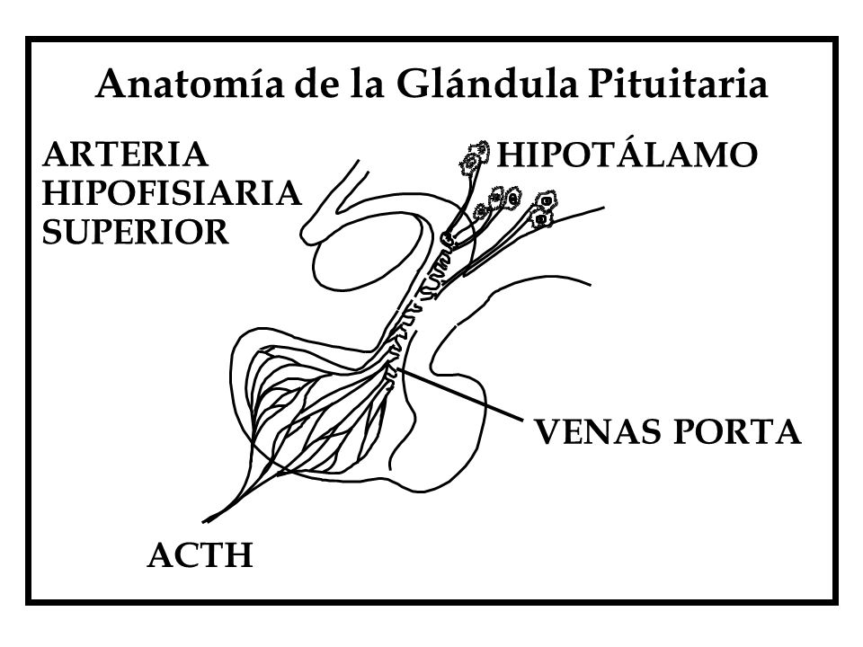 Anatomía de la Glándula Pituitaria