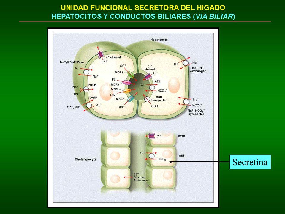 Secretina UNIDAD FUNCIONAL SECRETORA DEL HIGADO