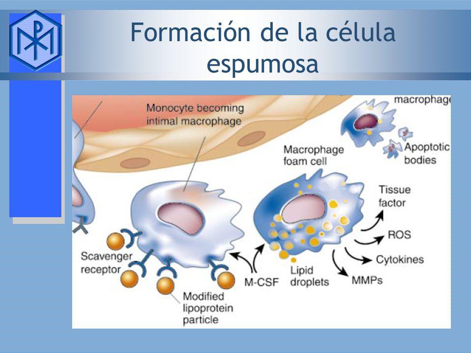 Formación de la célula espumosa