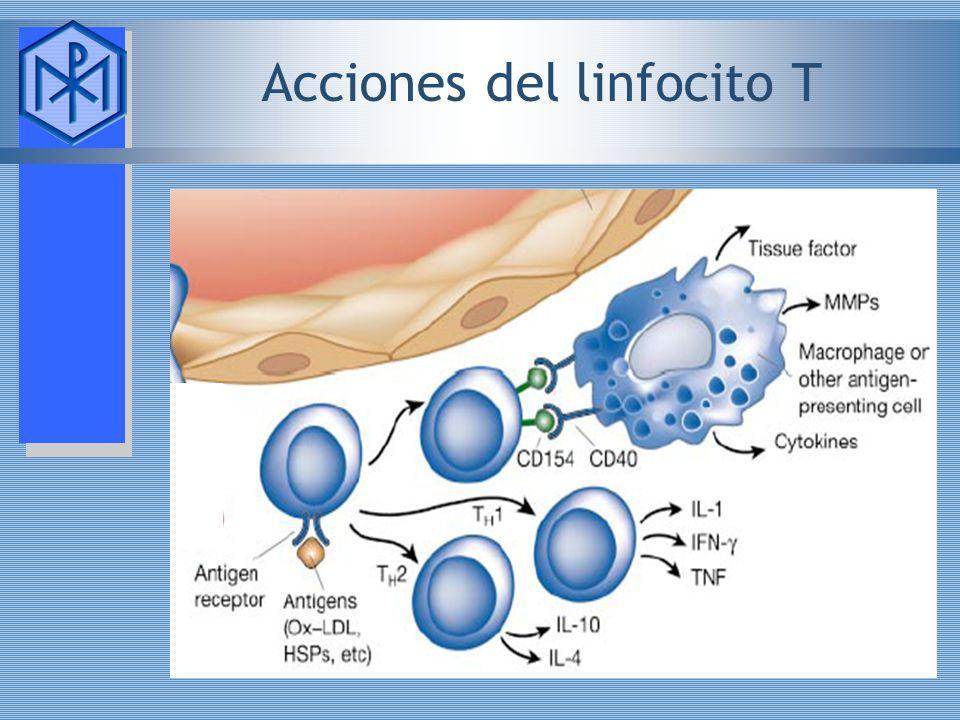 Acciones del linfocito T