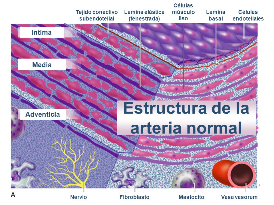 Estructura de la arteria normal
