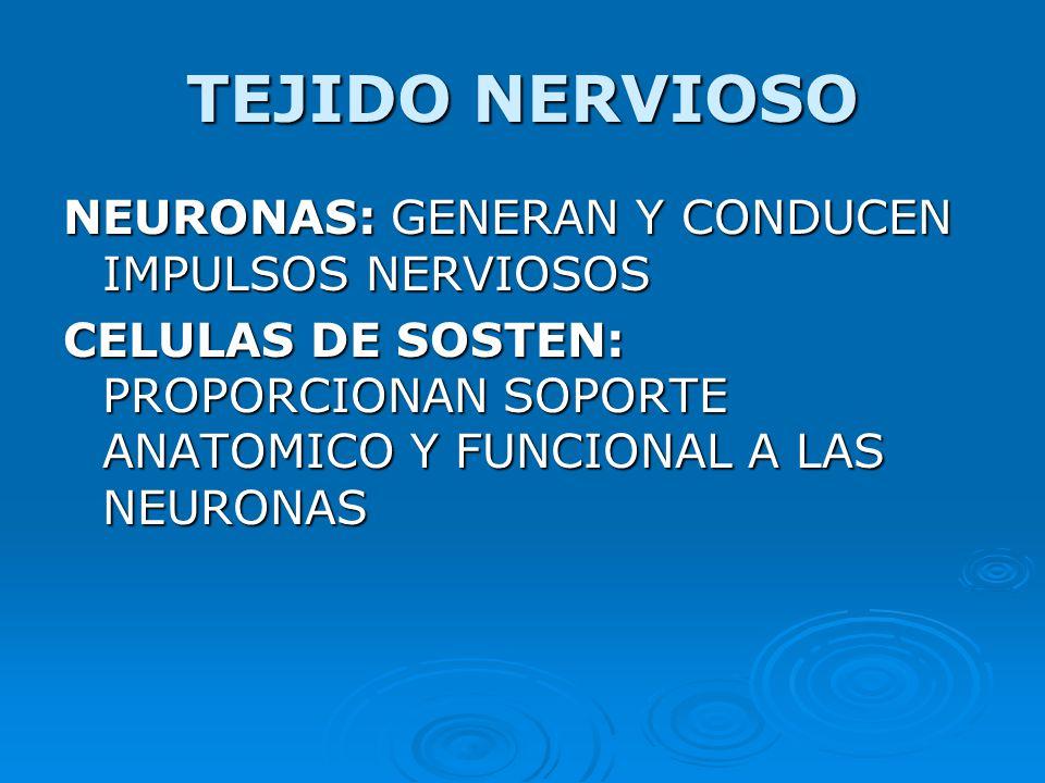 TEJIDO NERVIOSO NEURONAS: GENERAN Y CONDUCEN IMPULSOS NERVIOSOS