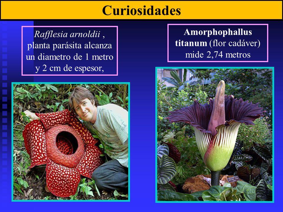 Amorphophallus titanum (flor cadáver) mide 2,74 metros