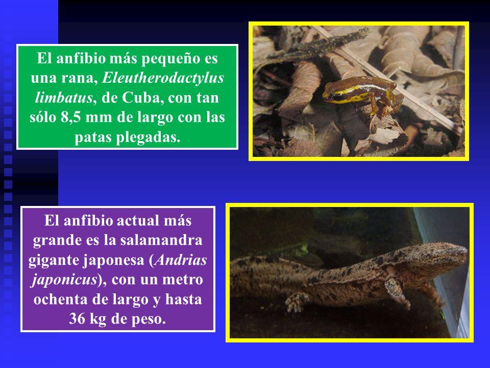 El anfibio más pequeño es una rana, Eleutherodactylus limbatus, de Cuba, con tan sólo 8,5 mm de largo con las patas plegadas.