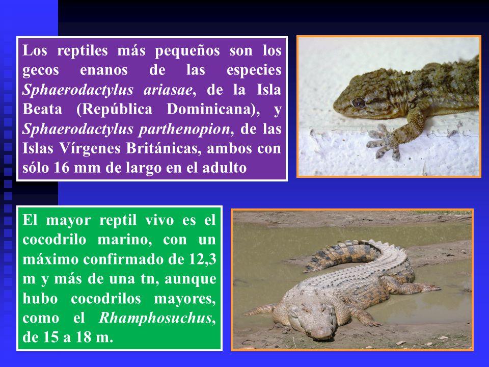 Los reptiles más pequeños son los gecos enanos de las especies Sphaerodactylus ariasae, de la Isla Beata (República Dominicana), y Sphaerodactylus parthenopion, de las Islas Vírgenes Británicas, ambos con sólo 16 mm de largo en el adulto
