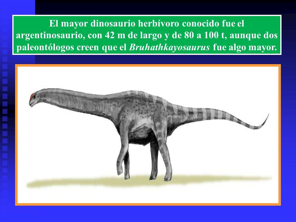 El mayor dinosaurio herbívoro conocido fue el argentinosaurio, con 42 m de largo y de 80 a 100 t, aunque dos paleontólogos creen que el Bruhathkayosaurus fue algo mayor.