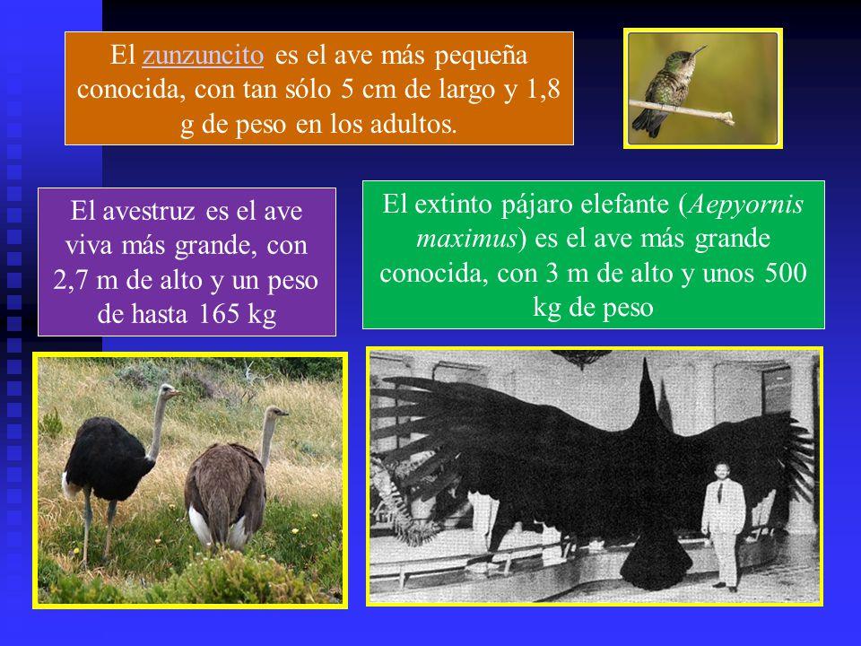 El zunzuncito es el ave más pequeña conocida, con tan sólo 5 cm de largo y 1,8 g de peso en los adultos.