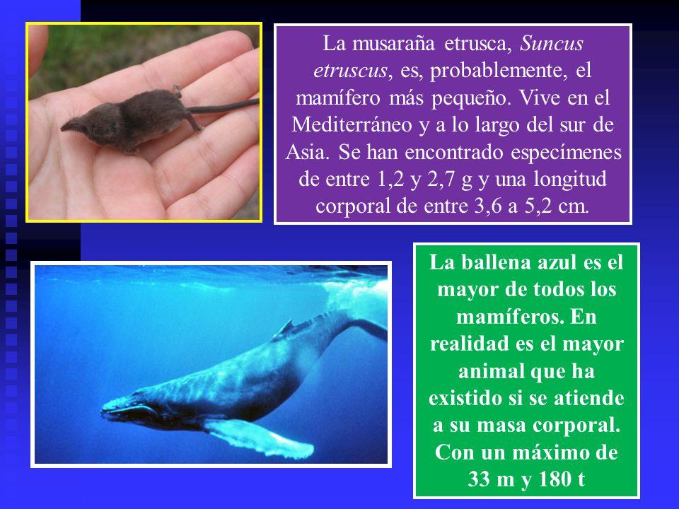 La musaraña etrusca, Suncus etruscus, es, probablemente, el mamífero más pequeño. Vive en el Mediterráneo y a lo largo del sur de Asia. Se han encontrado especímenes de entre 1,2 y 2,7 g y una longitud corporal de entre 3,6 a 5,2 cm.