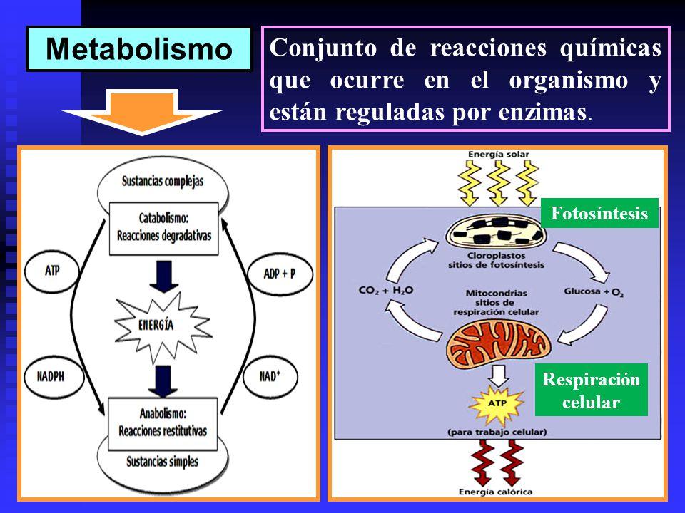 Metabolismo Conjunto de reacciones químicas que ocurre en el organismo y están reguladas por enzimas.