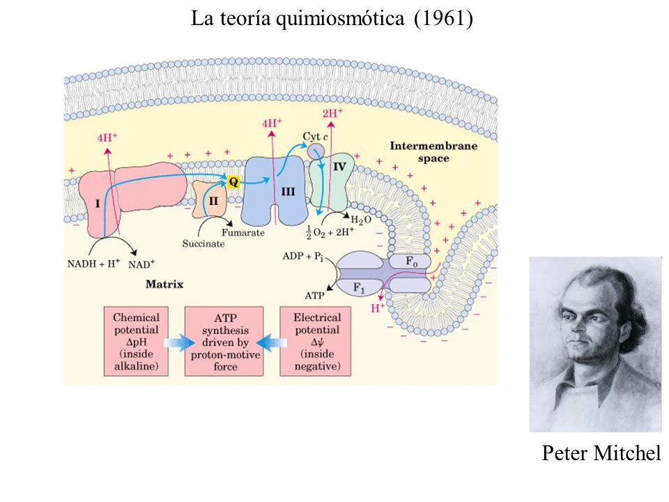 La teoría quimiosmótica (1961)