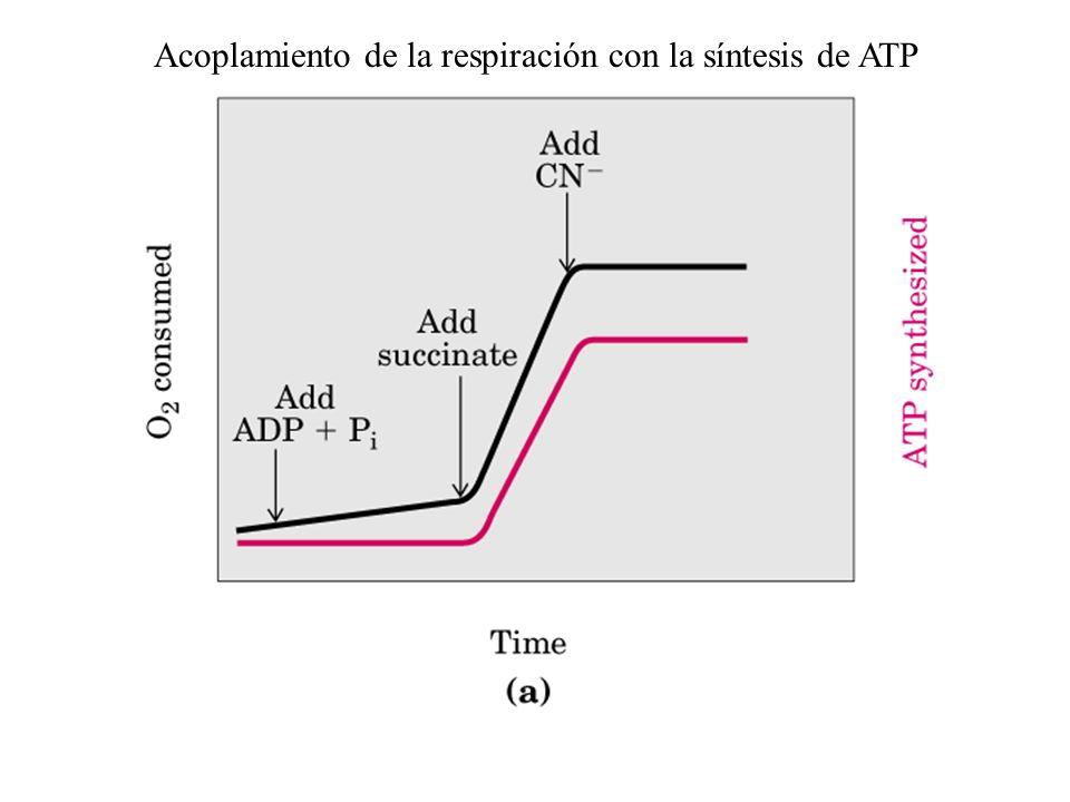 Acoplamiento de la respiración con la síntesis de ATP