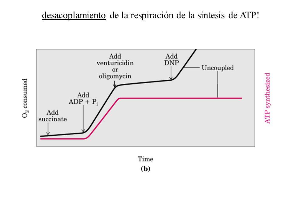 desacoplamiento de la respiración de la síntesis de ATP!