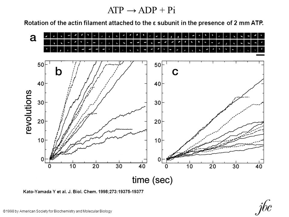 ATP → ADP + Pi Rotation of the actin filament attached to the ε subunit in the presence of 2 mm ATP.