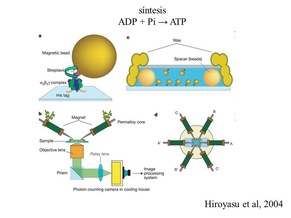 síntesis ADP + Pi → ATP Hiroyasu et al, 2004