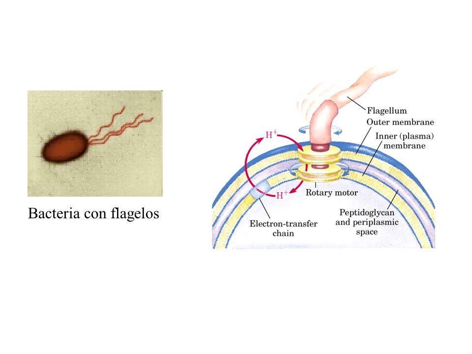 Bacteria con flagelos