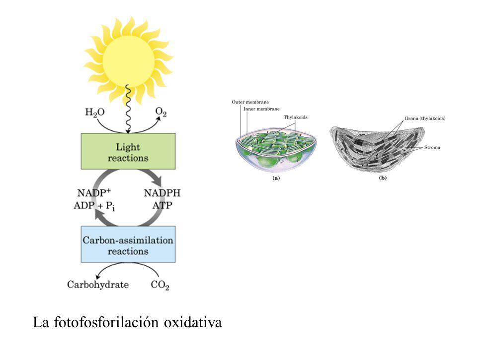 La fotofosforilación oxidativa