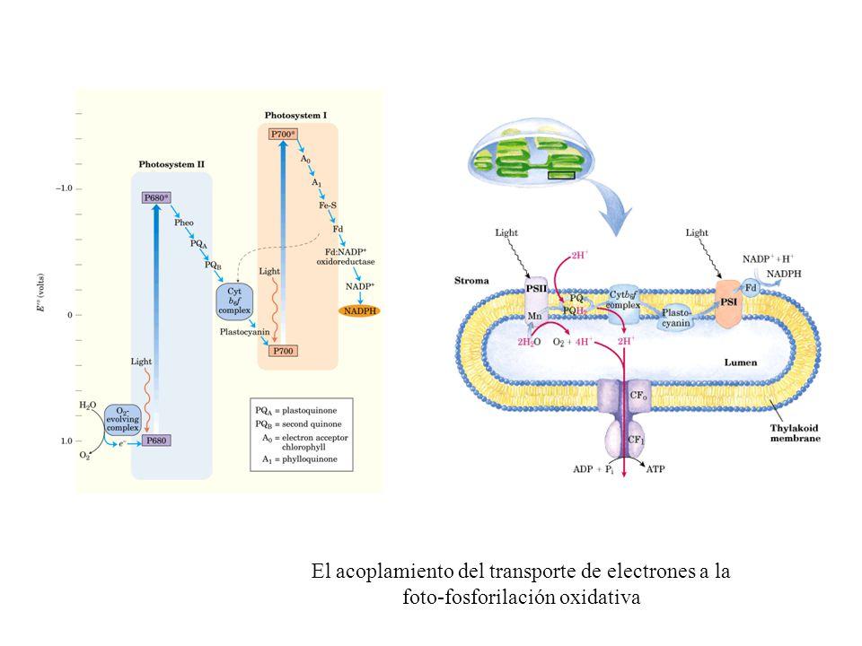 El acoplamiento del transporte de electrones a la foto-fosforilación oxidativa
