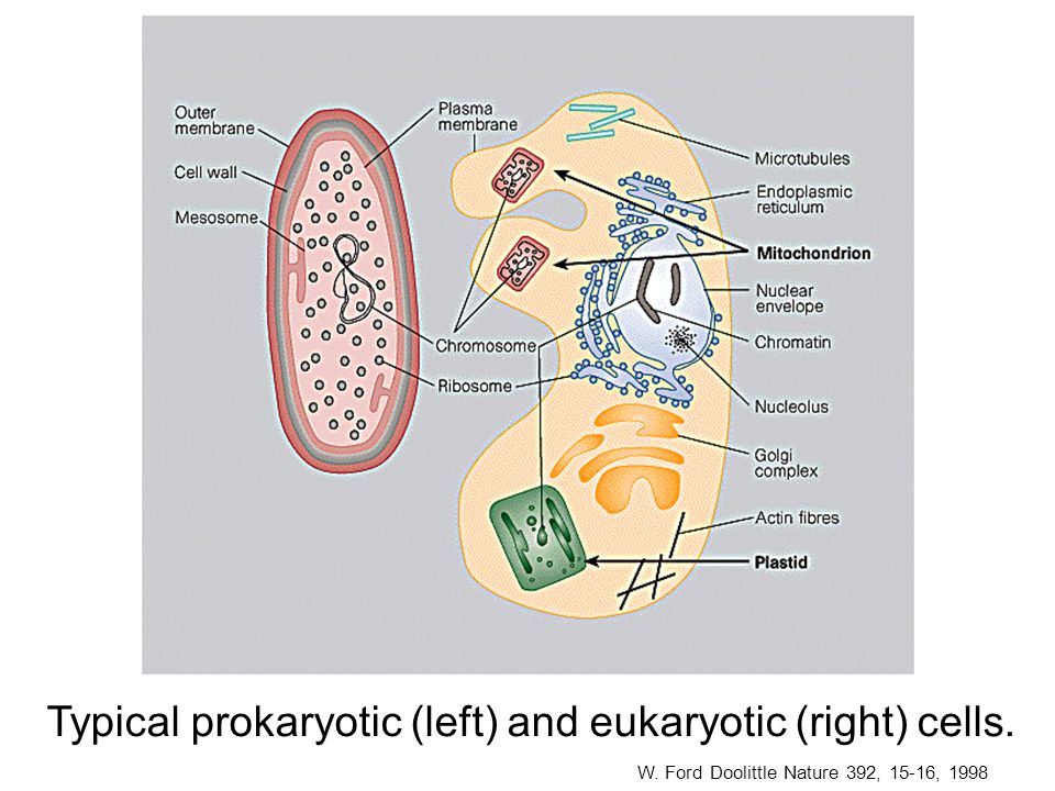 Typical prokaryotic (left) and eukaryotic (right) cells.