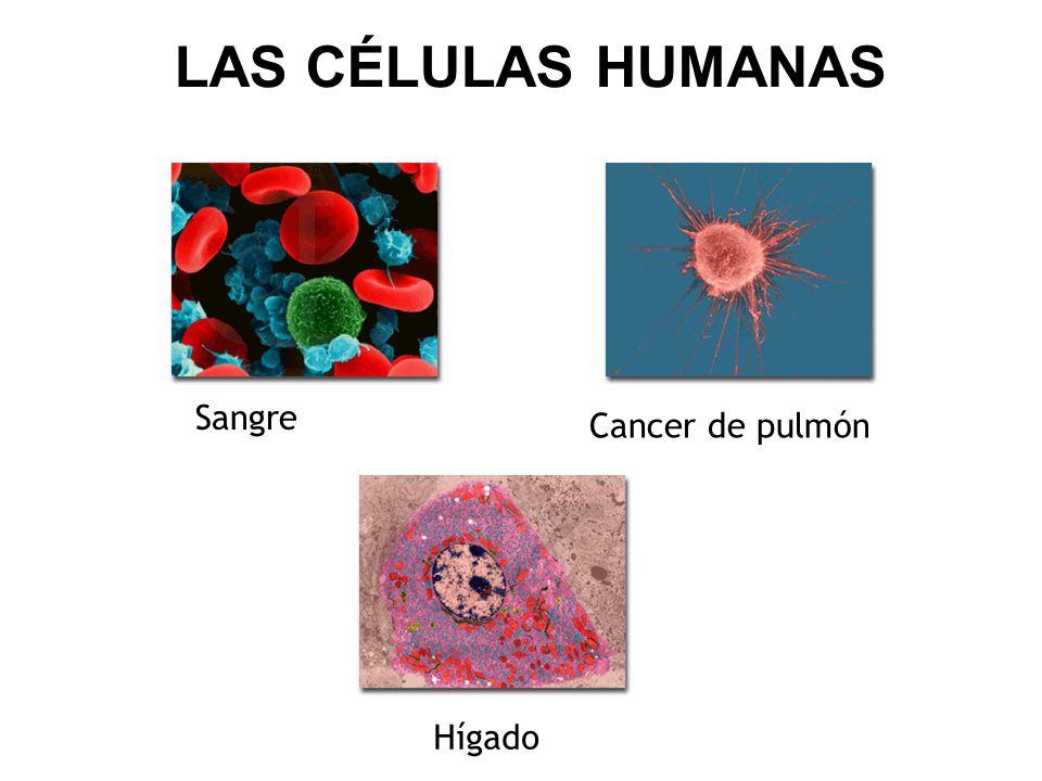 LAS CÉLULAS HUMANAS Sangre Cancer de pulmón Hígado