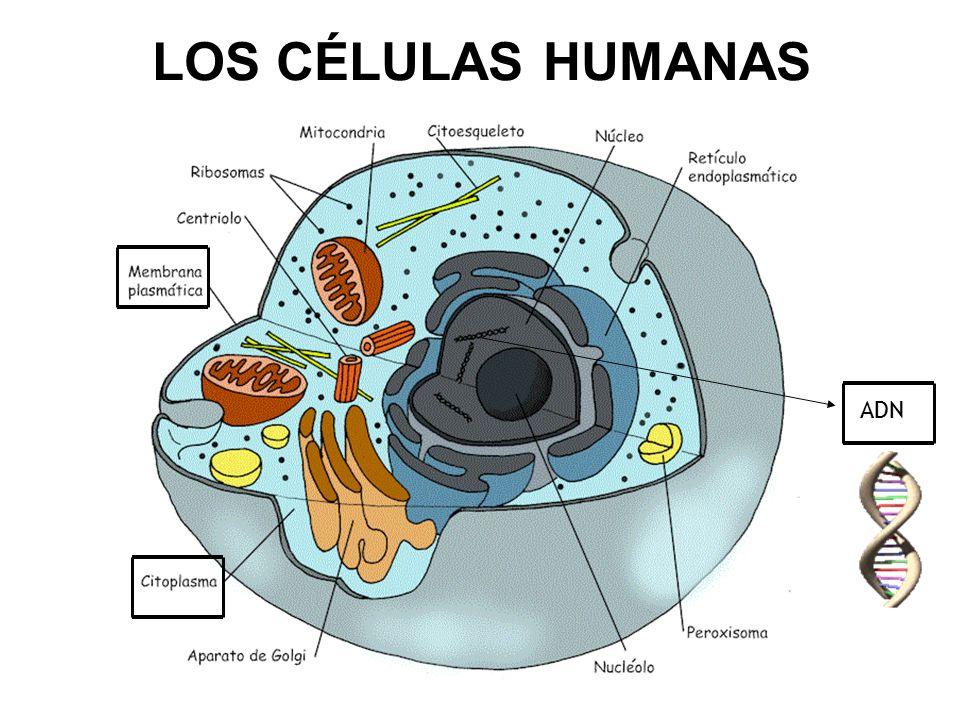 LOS CÉLULAS HUMANAS ADN