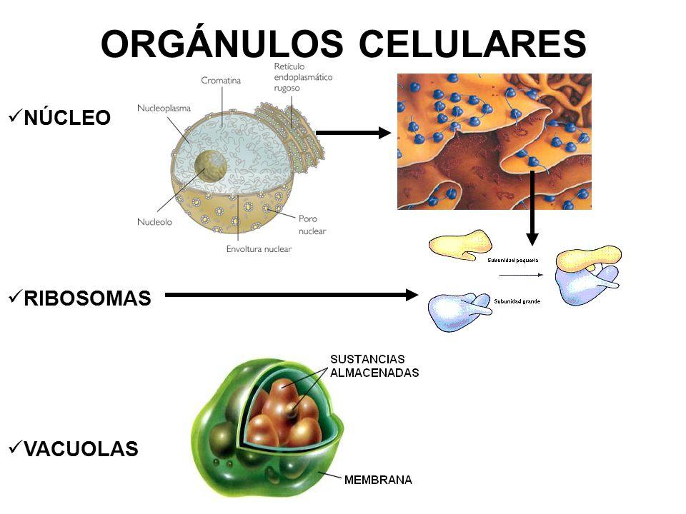 ORGÁNULOS CELULARES NÚCLEO RIBOSOMAS VACUOLAS