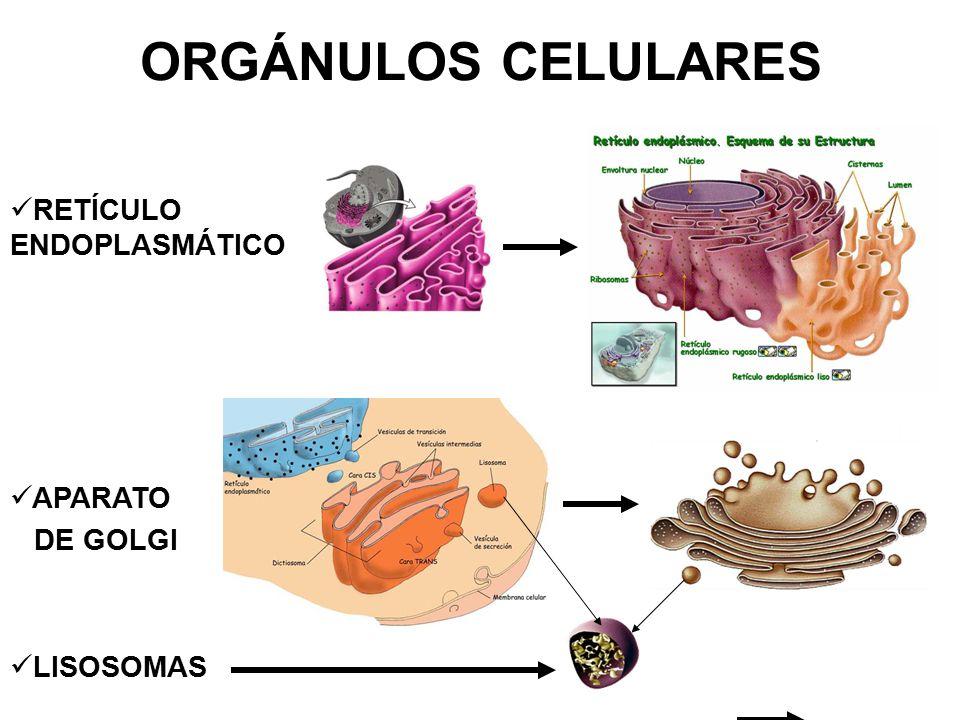 ORGÁNULOS CELULARES RETÍCULO ENDOPLASMÁTICO APARATO DE GOLGI LISOSOMAS